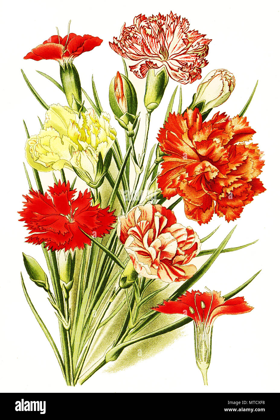 Dianthus caryophyllus, Carnation, clove pink. Landnelke oder Edel-Nelke, Gartennelke, Nelke, digital improved reproduction from a print of the 19th century - Stock Image