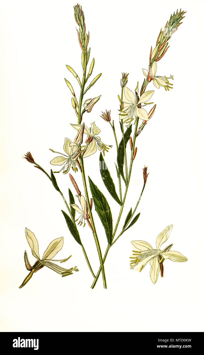 Gaura lindheimeri. Oenothera lindheimeri, Lindheimer's beeblossom, white gaura, pink gaura, Lindheimer's clockweed, and Indian feather. Prachtkerze,  Präriekerze, digital improved reproduction from a print of the 19th century - Stock Image