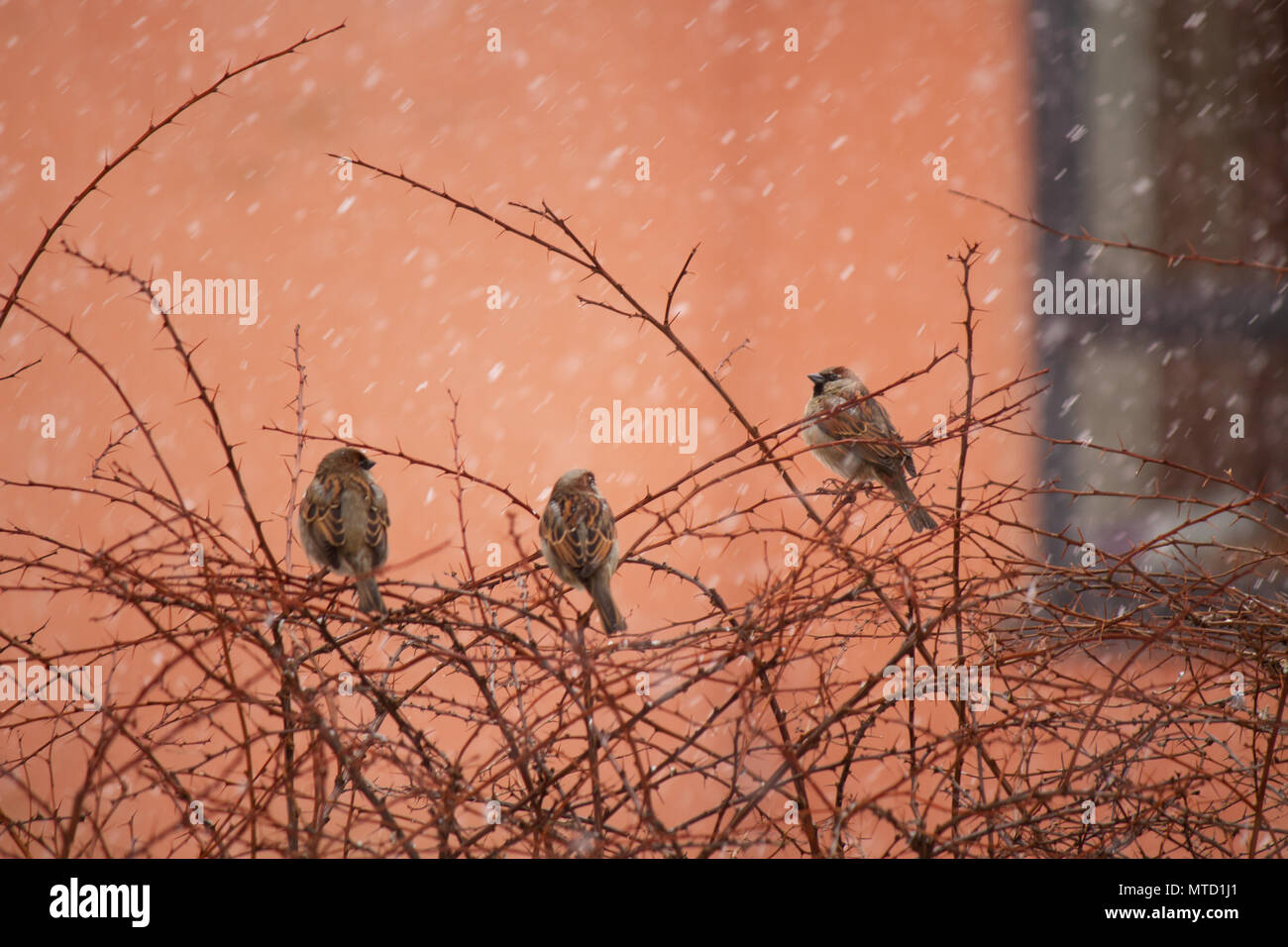 Three house sparrows (Passer domesticus) in a shrub in Oslo Norway - Stock Image