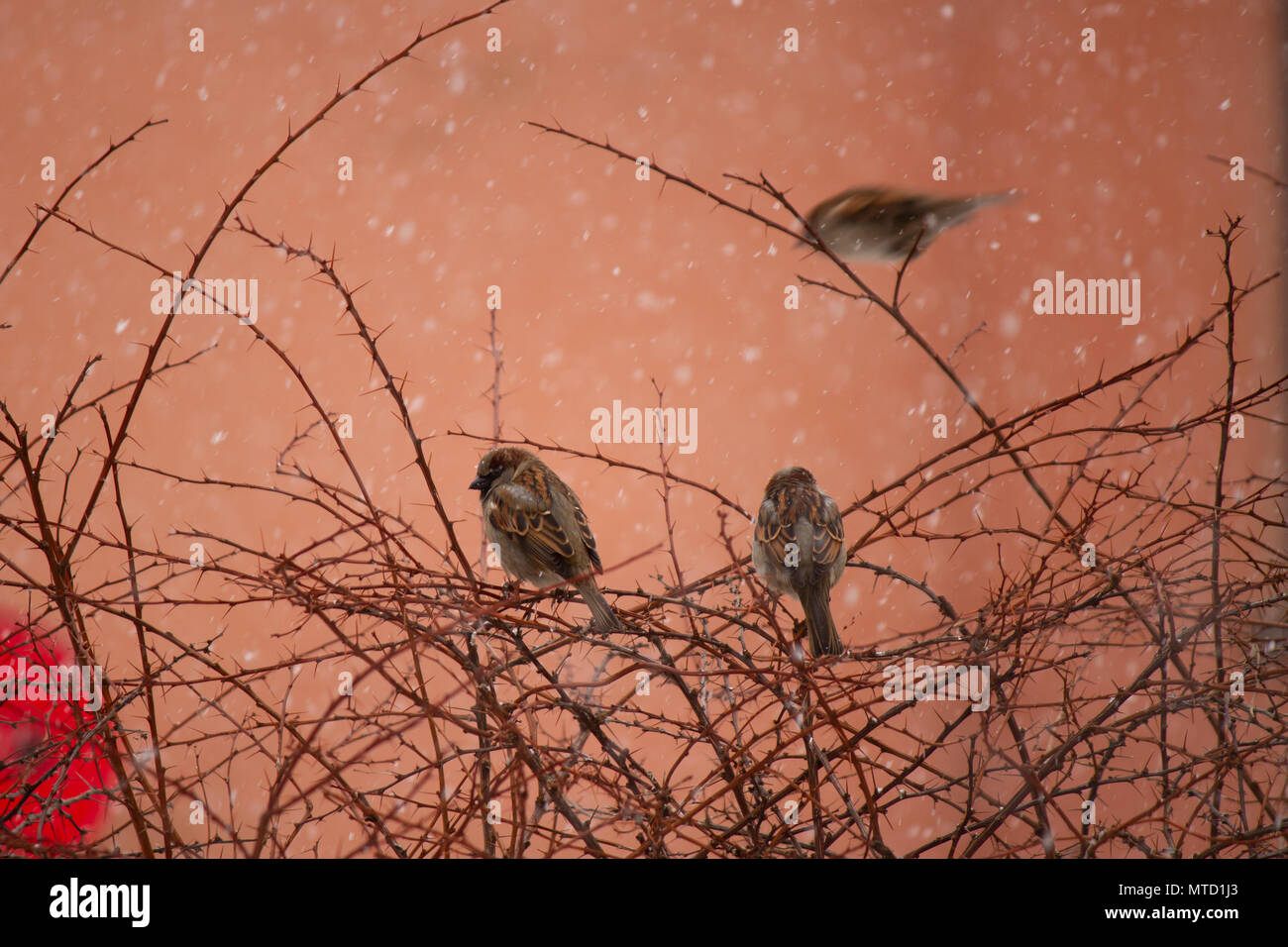 Three house sparrows (Passer domesticus) in Oslo - Stock Image