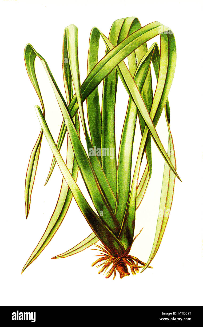 Phormium Tenax, New Zealand Flax, New Zealand hemp. Neuseeländer Flachs, Neuseelandflachs, digital improved reproduction from a print of the 19th century - Stock Image