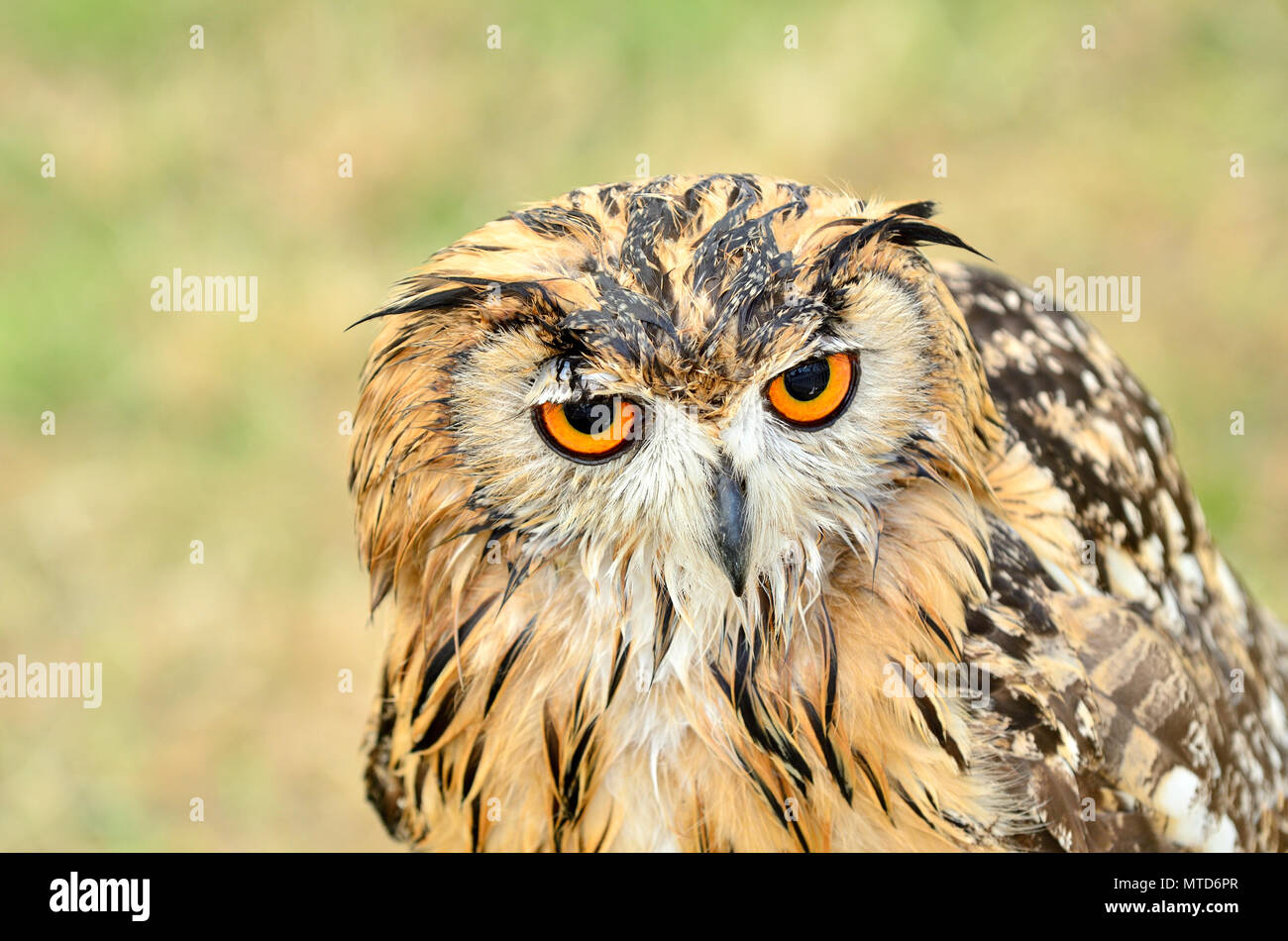 Indian Rock Owl / Indian Eagle-Owl / Rock Eagle-Owl or Bengal Eagle-Owl (Bubo bengalensis) Indian subcontinent: captive bird, UK - Stock Image