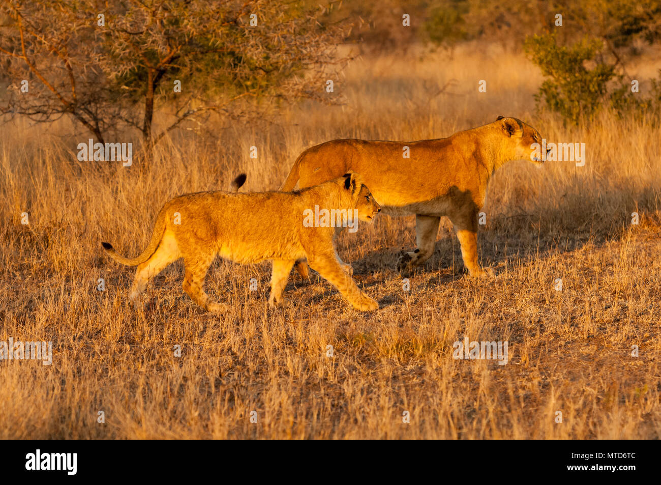 Lioness with cub on an early morning hunt in Sabi Sand Game Reserve - Stock Image