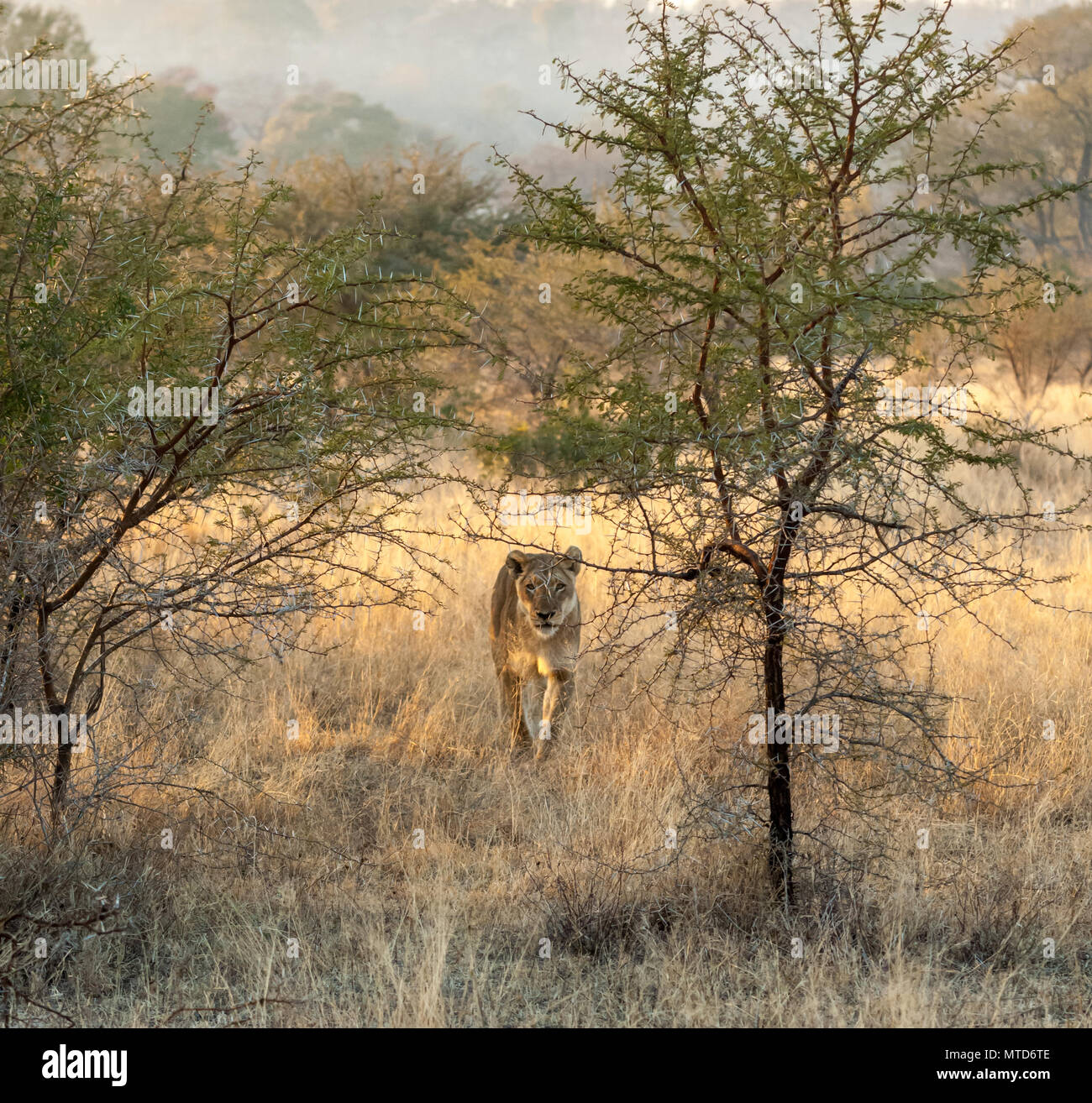 Lionness hunting in the early morning light at Sabi Sand Game Reserve - Stock Image
