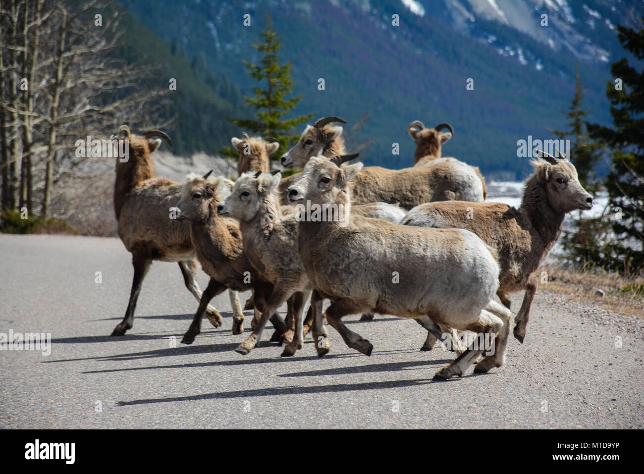 A herd of goats next to a lake in the rocky mountains. - Stock Image