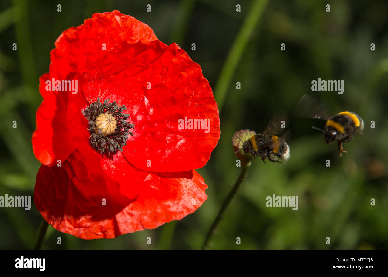 29 May 2018, Germany, Rehda-Wiedenbrueck: Bumblebees approach a poppy on a field. Photo: Friso Gentsch/dpa - Stock Image