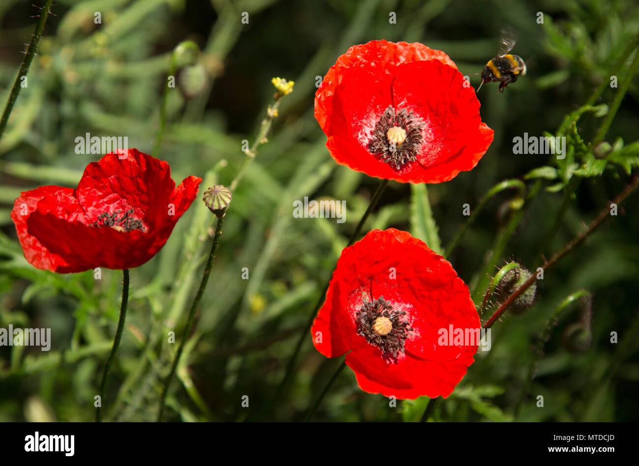 29 May 2018, Germany, Rehda-Wiedenbrueck: A bumblebee approaches a poppy on a field. Photo: Friso Gentsch/dpa - Stock Image