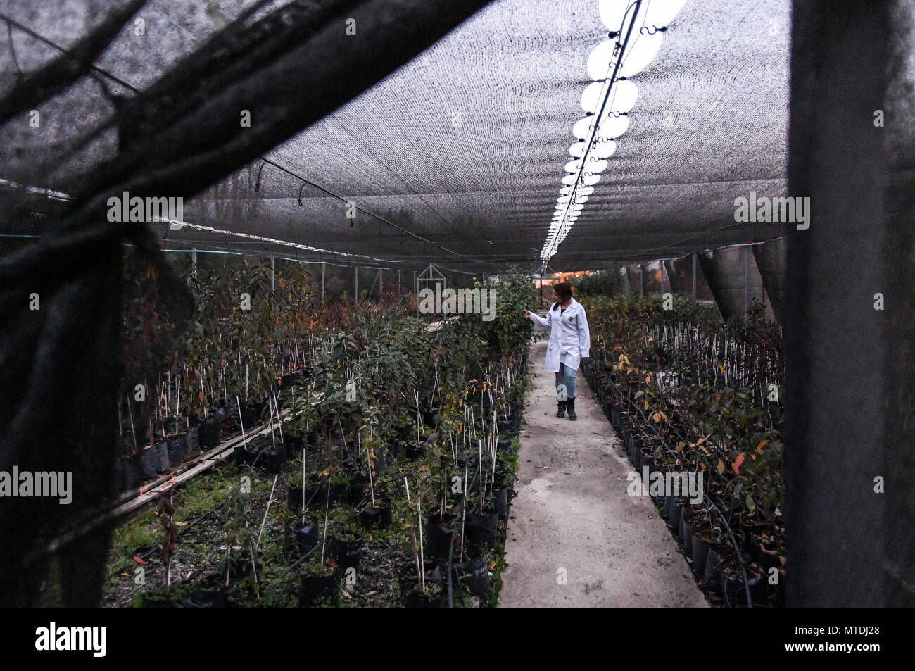 A Scientist Works In Greenhouse At The Center For Advanced Studies Fruit Cultivation CEAF Rengo Chile On May 14 2018