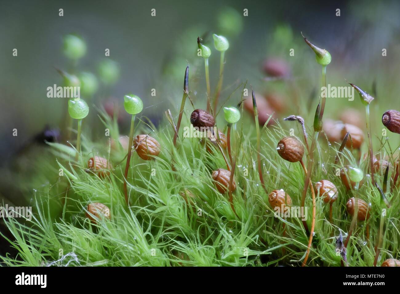 Apple-moss (Bartramia pomiformis), old and new spore capsules - Stock Image