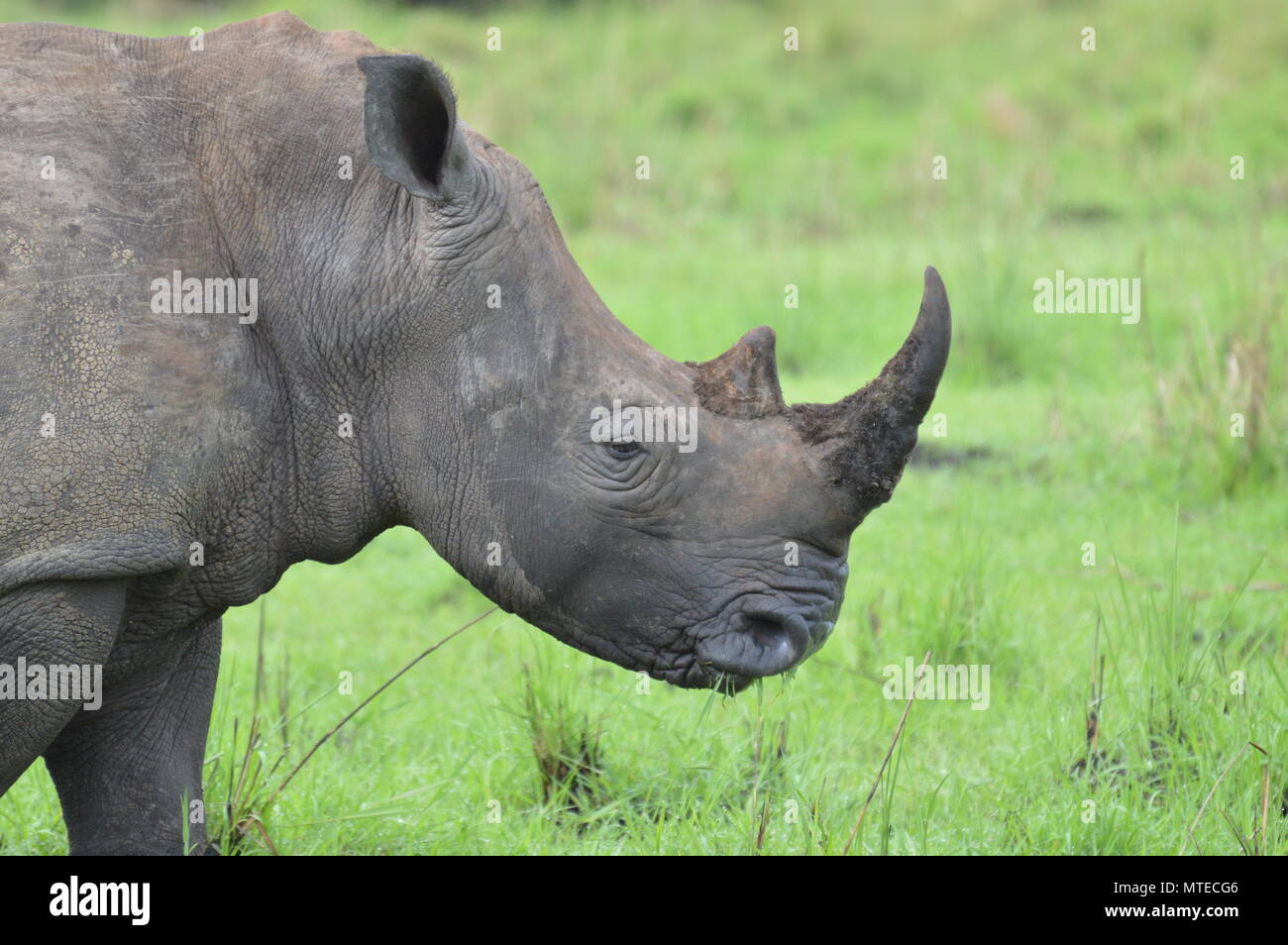 Pregnant rhino with full horn - Stock Image
