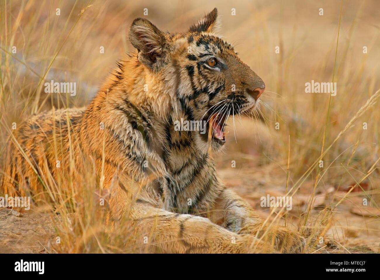 Bengal tiger (Panthera tigris tigris), young yawning, animal portrait, Bandhavgarh National Park, Madhya Pradesh, India - Stock Image