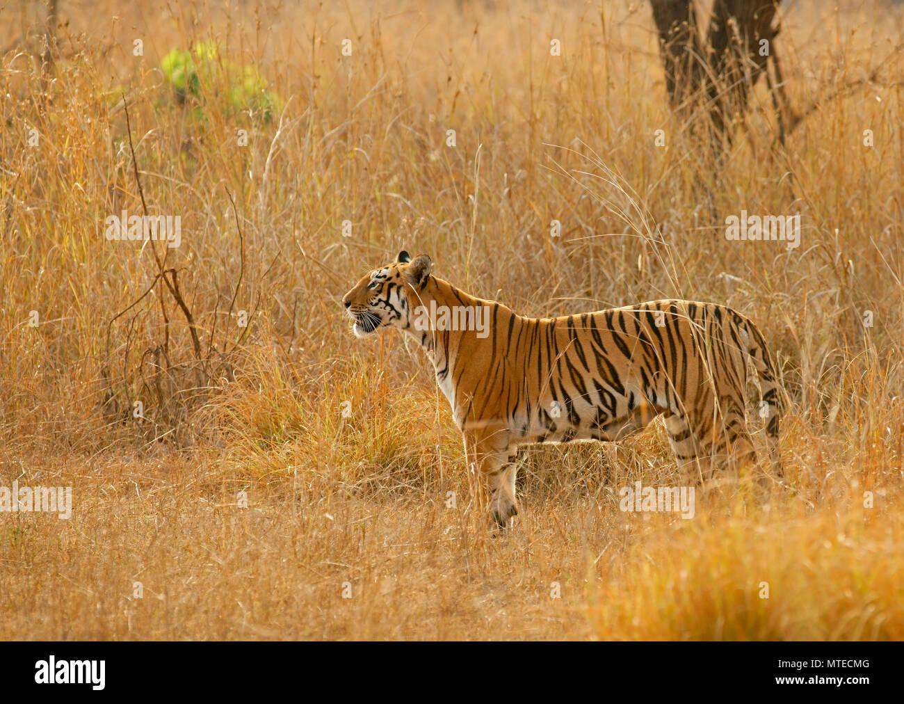 Bengal tiger (Panthera tigris tigris), looking out, Tadoba Tiger Reserve, Maharashtra, India - Stock Image