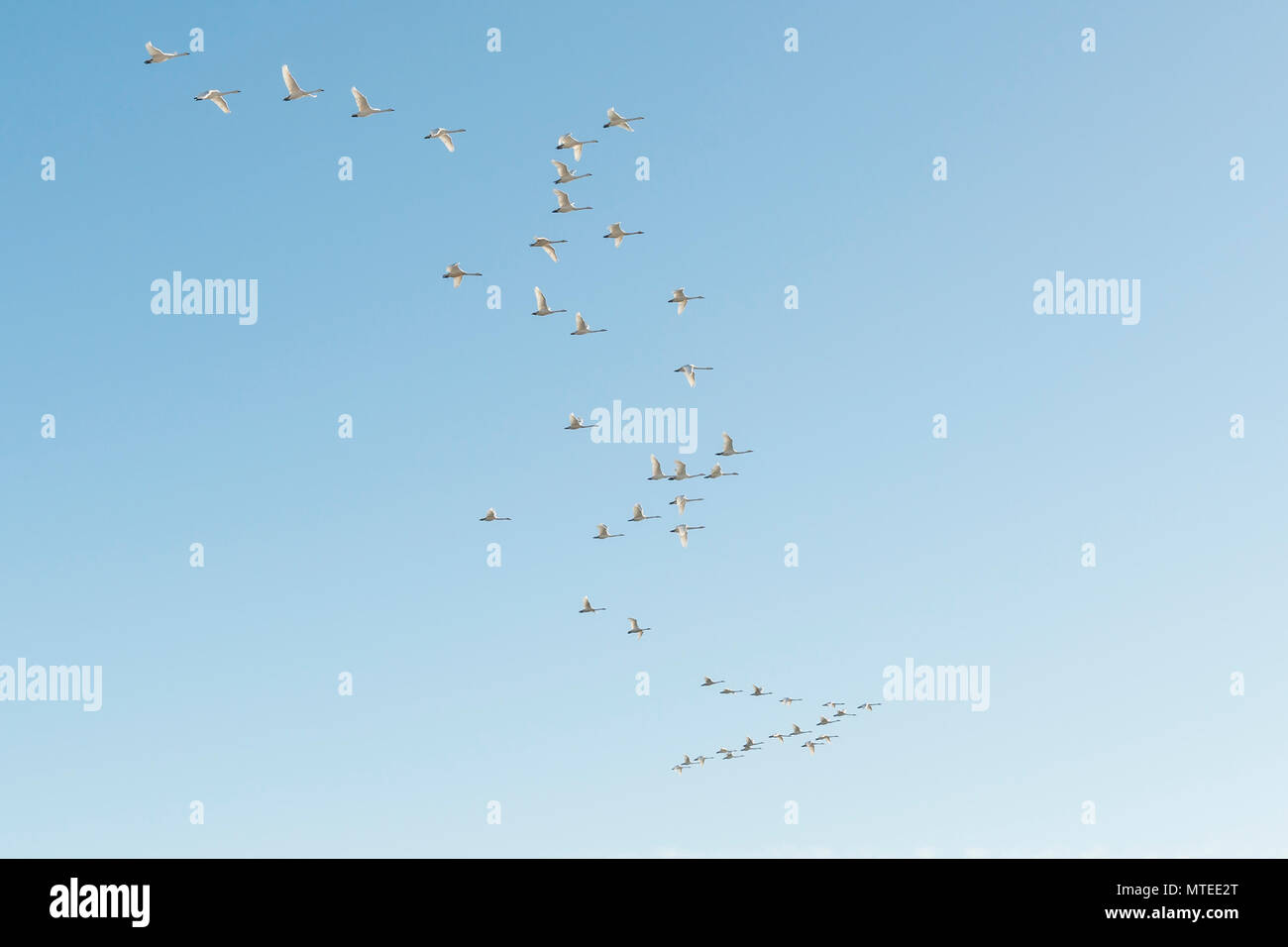 Flock of birds, flying Whooper swans (Cygnus cygnus) in formation, South Iceland, Iceland - Stock Image