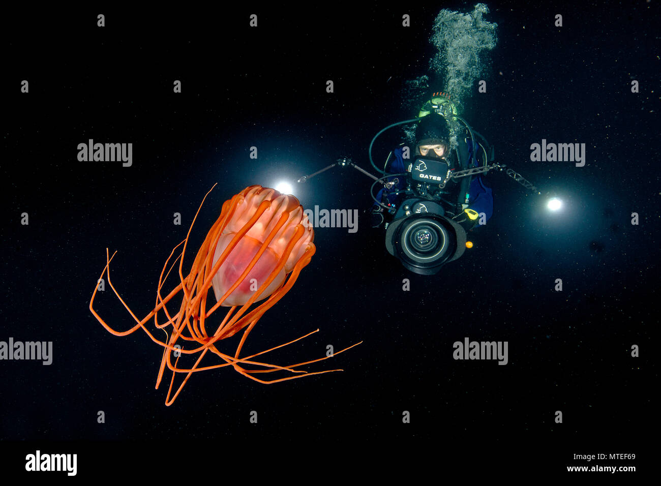 Diver and Helmet jellyfish (Periphylla periphylla), Hordaland, Norway Stock Photo