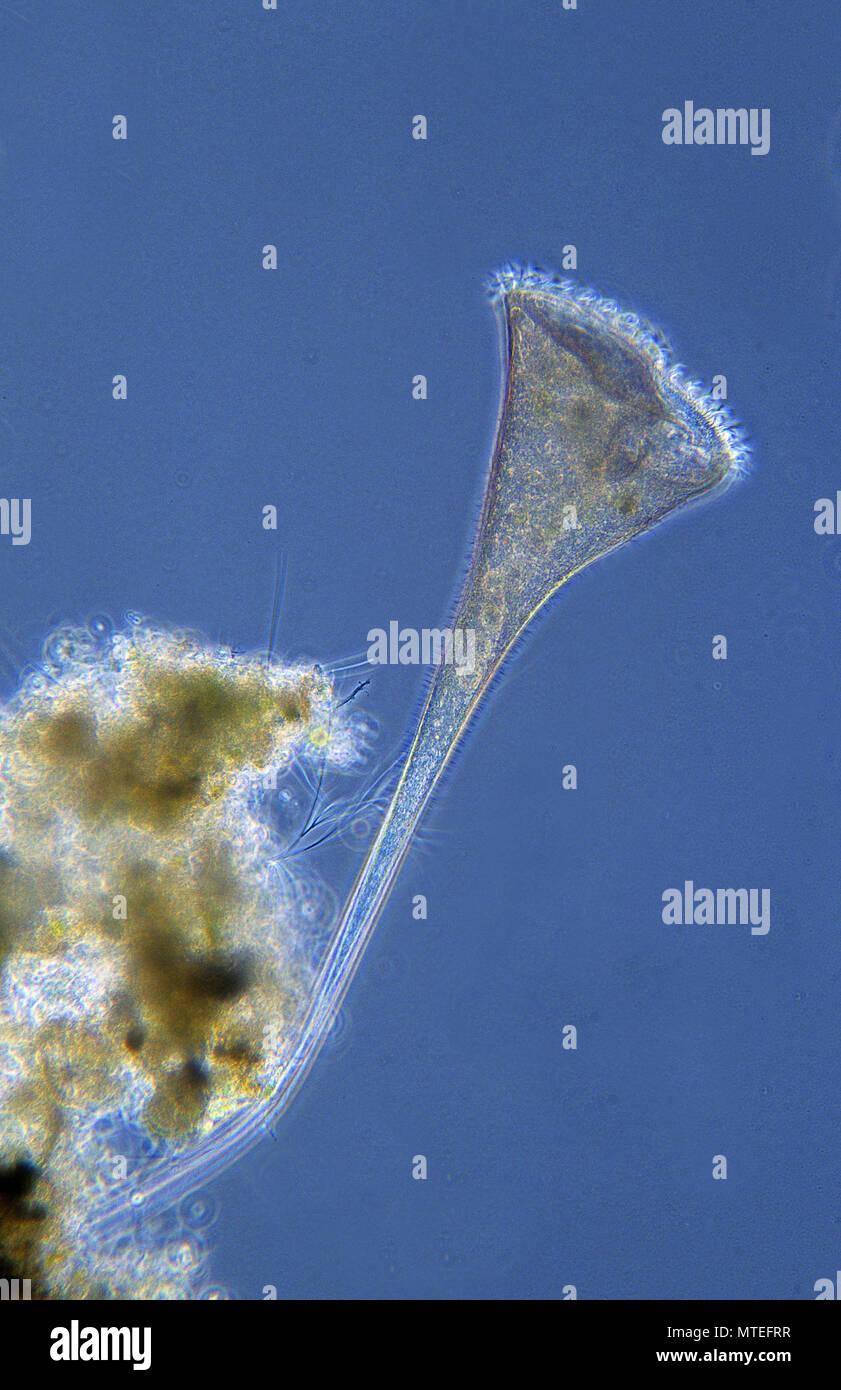 Stentor.Ciliata.Protozoans.Optic microscopy - Stock Image