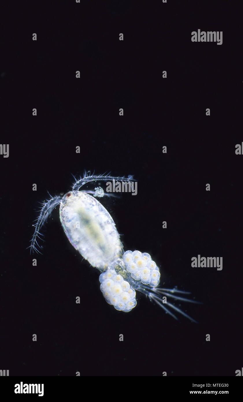 Eggs of copepod.Crustacean.Invertebrate.Optic Microscopy - Stock Image