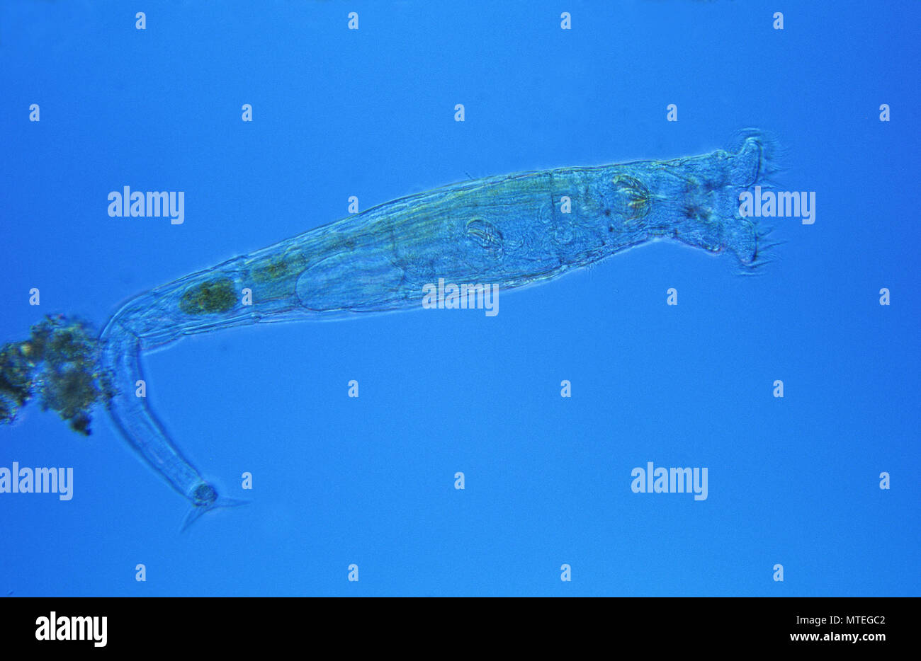 Philodina.Rotifera.Optic microscopy - Stock Image
