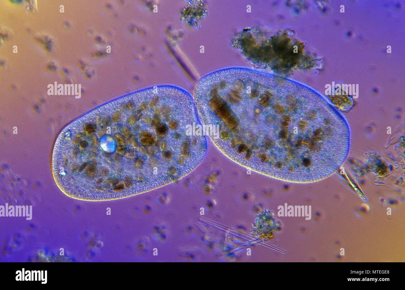 Bipartition.Cell division.Ciliata.Protozoan.Optic microscopy - Stock Image