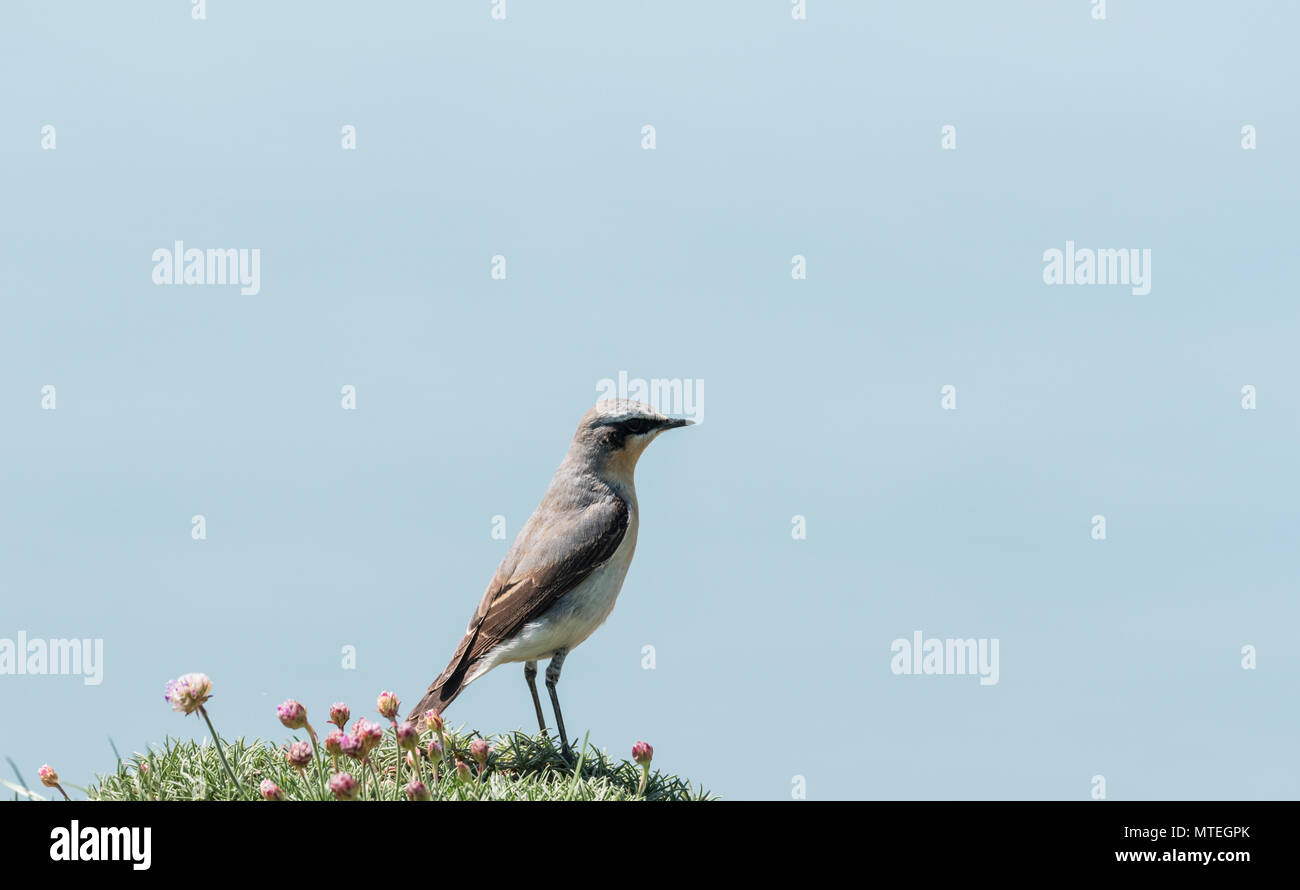 A Wheatear (Oenanthe oenanthe) standing on a cliff top Stock Photo