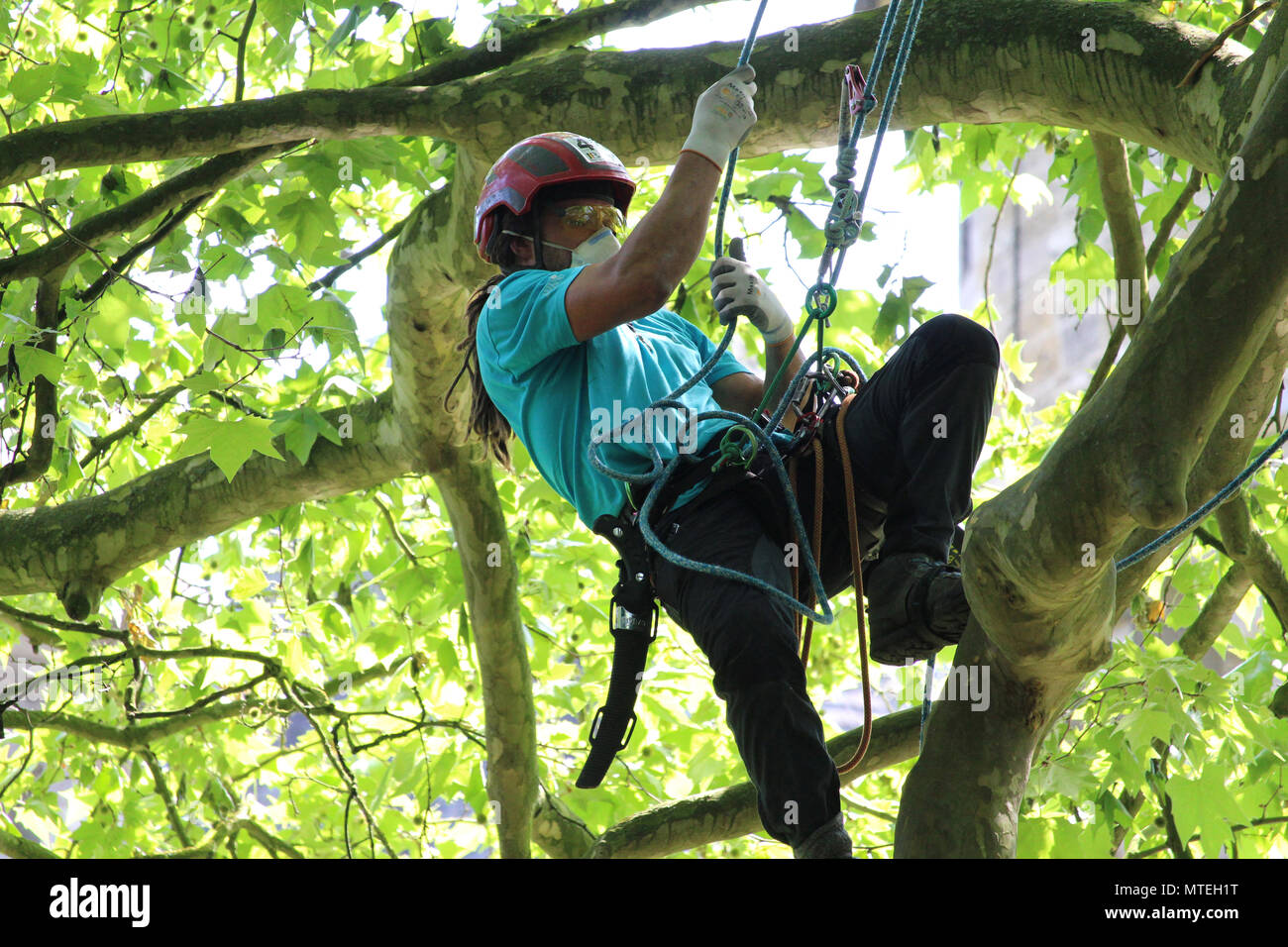 MECHELEN, BELGIUM, 26 MAY 2018: Action shot of unknown competitor climbing at the Belgian Tree Climbing Championships in Bonheiden near Mechelen. - Stock Image