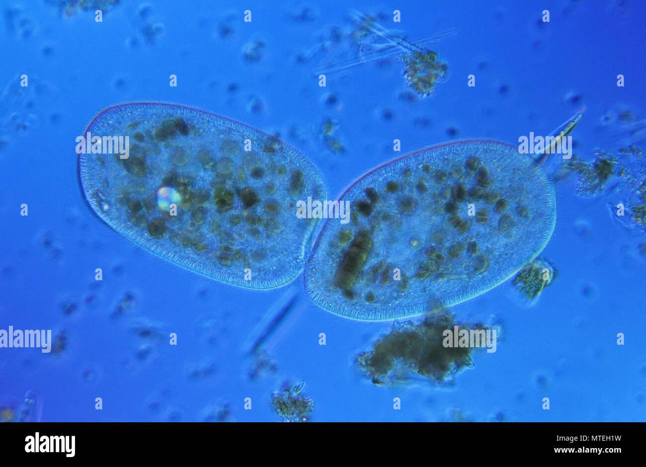 Bipartition.Cell division.Ciliata.Protozoan.Optic microscopy Stock Photo