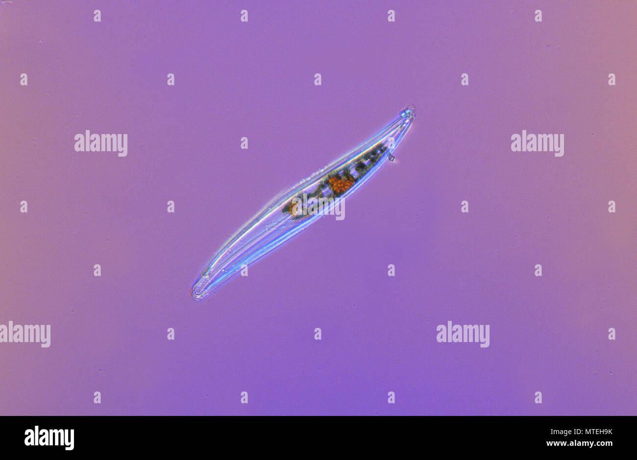 Gyrosigma.Diatom.Seawed.Algae.Optic microscopy - Stock Image