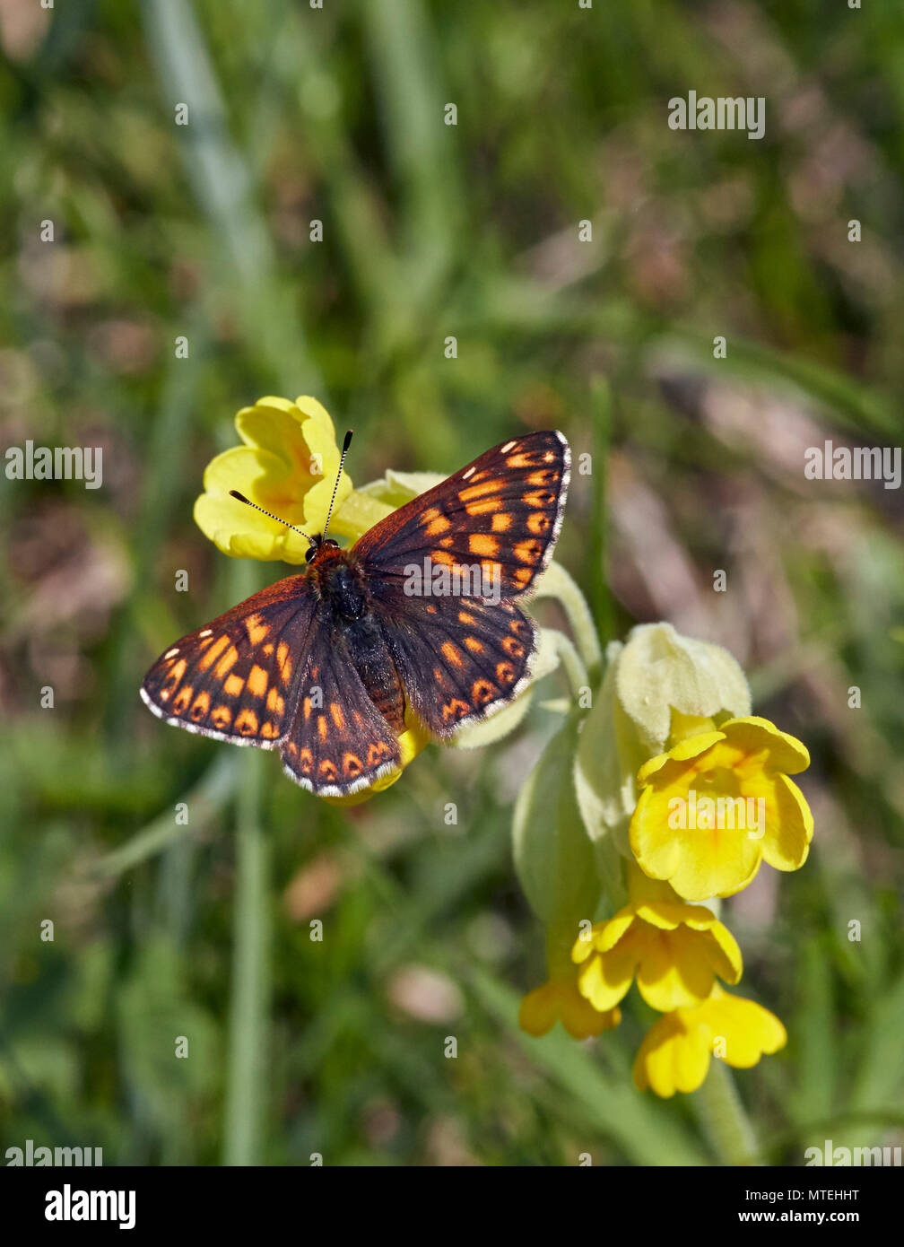 Duke of Burgundy butterfly on cowslip flowers. Noar Hill Nature Reserve, Selborne, Hampshire, England. Stock Photo