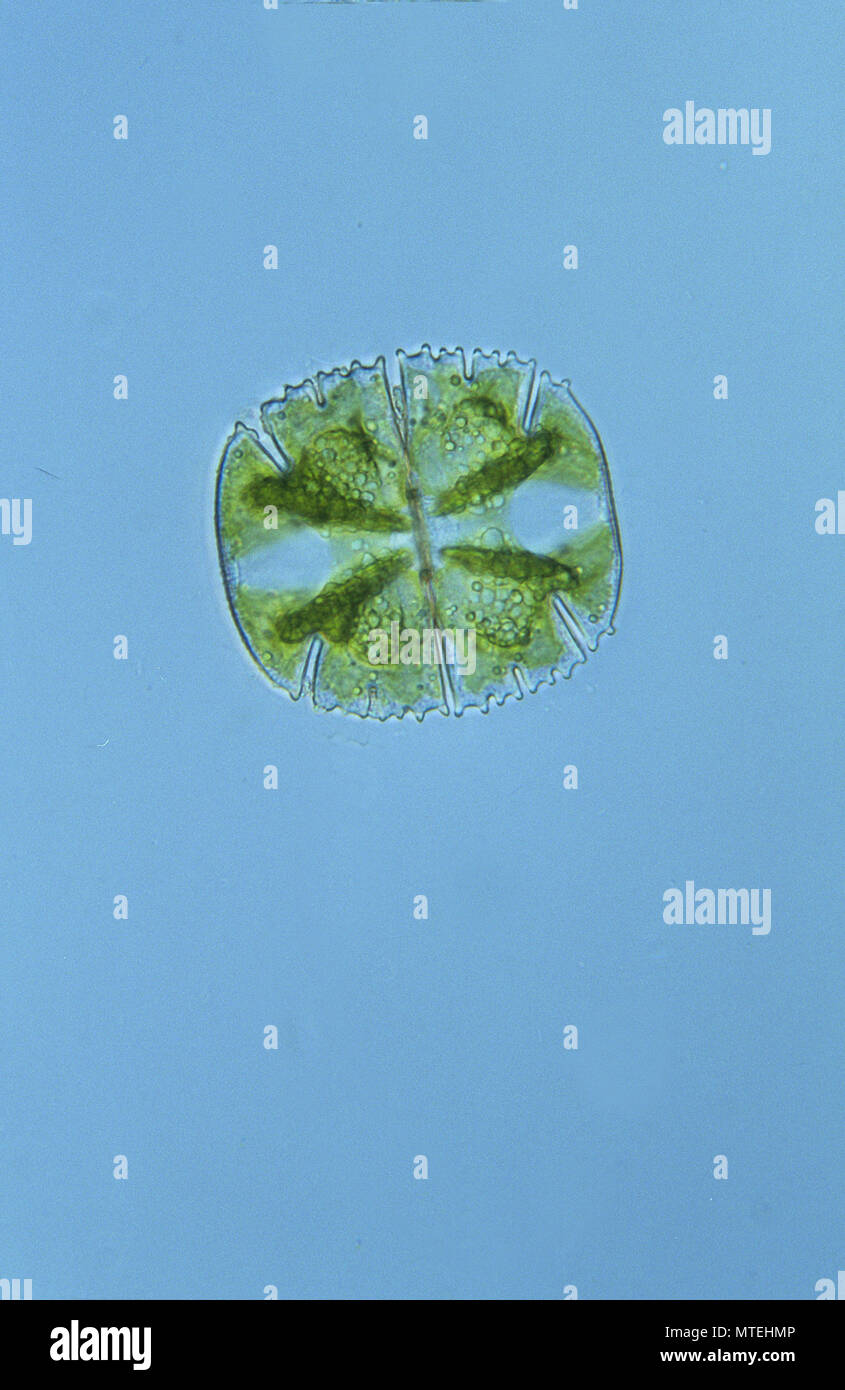 Micrasterias truncata.Chlorophyta.Algae.Seaweed.Optic micrsocopy. - Stock Image