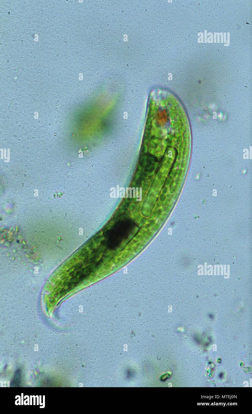 Euglena sp.Seaweed.Algae.Flagellate.Sarcomastigophora.Protozoan.Optic microscopy - Stock Image