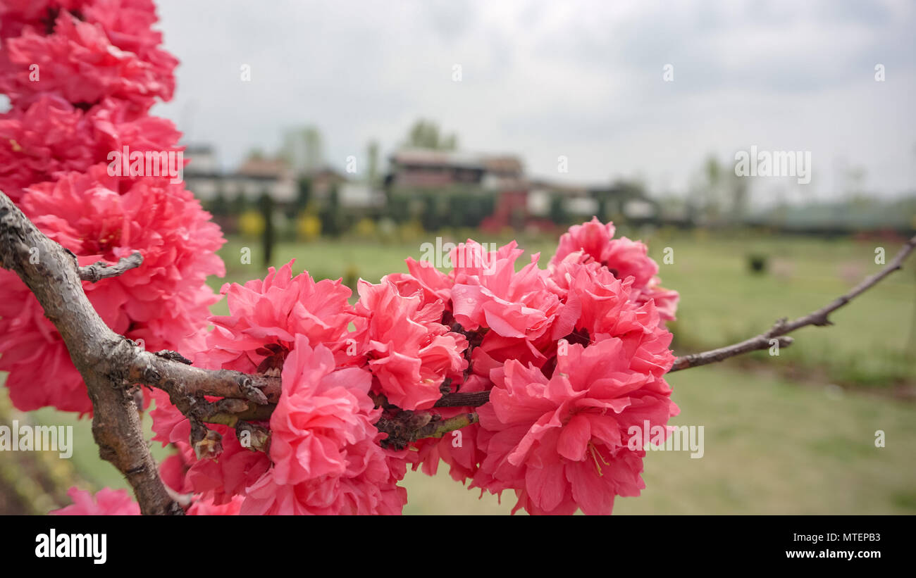 This Image Is Of Beautiful Flowers Of An Huge Garden In Kashmir