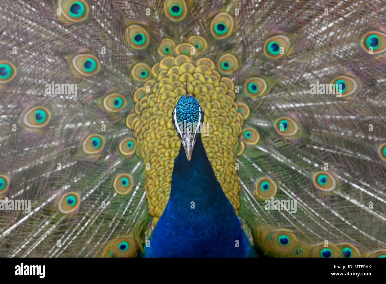 Beautiful Peacock bird - Stock Image