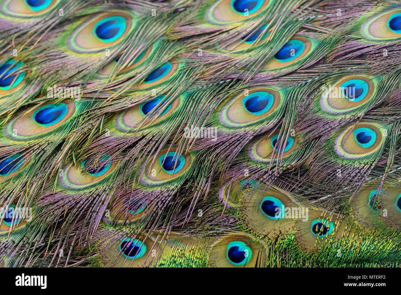 Peacock Feathers closeup - Stock Image