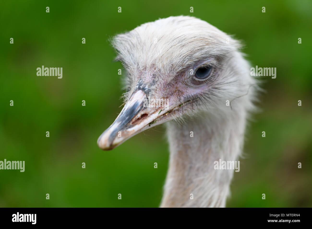 Rhea bird portrait - Stock Image