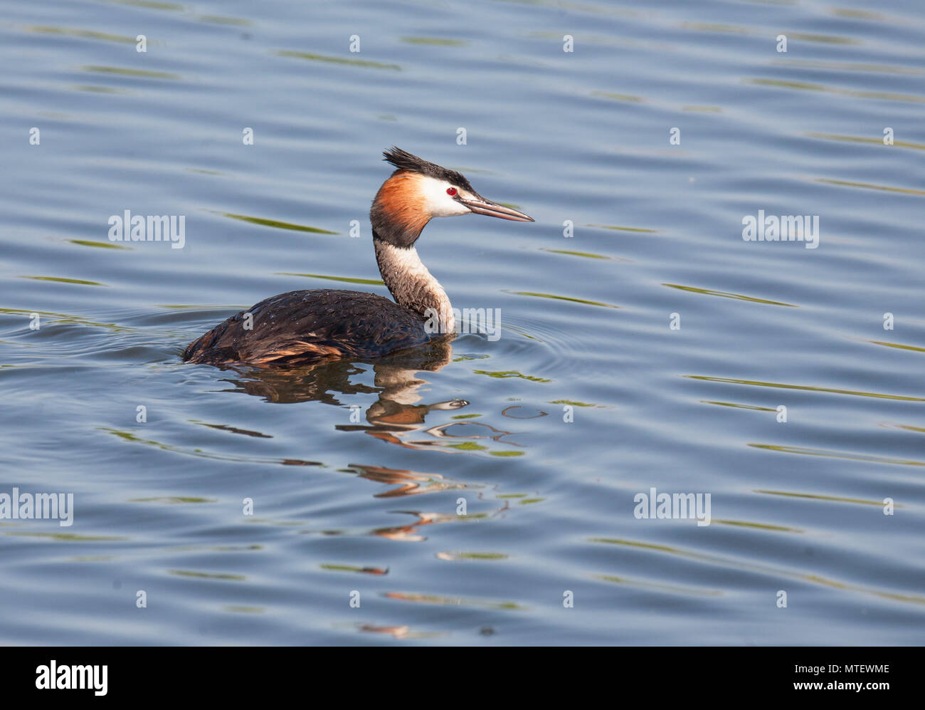 GREAT CRESTED GREBE 2018 - Stock Image