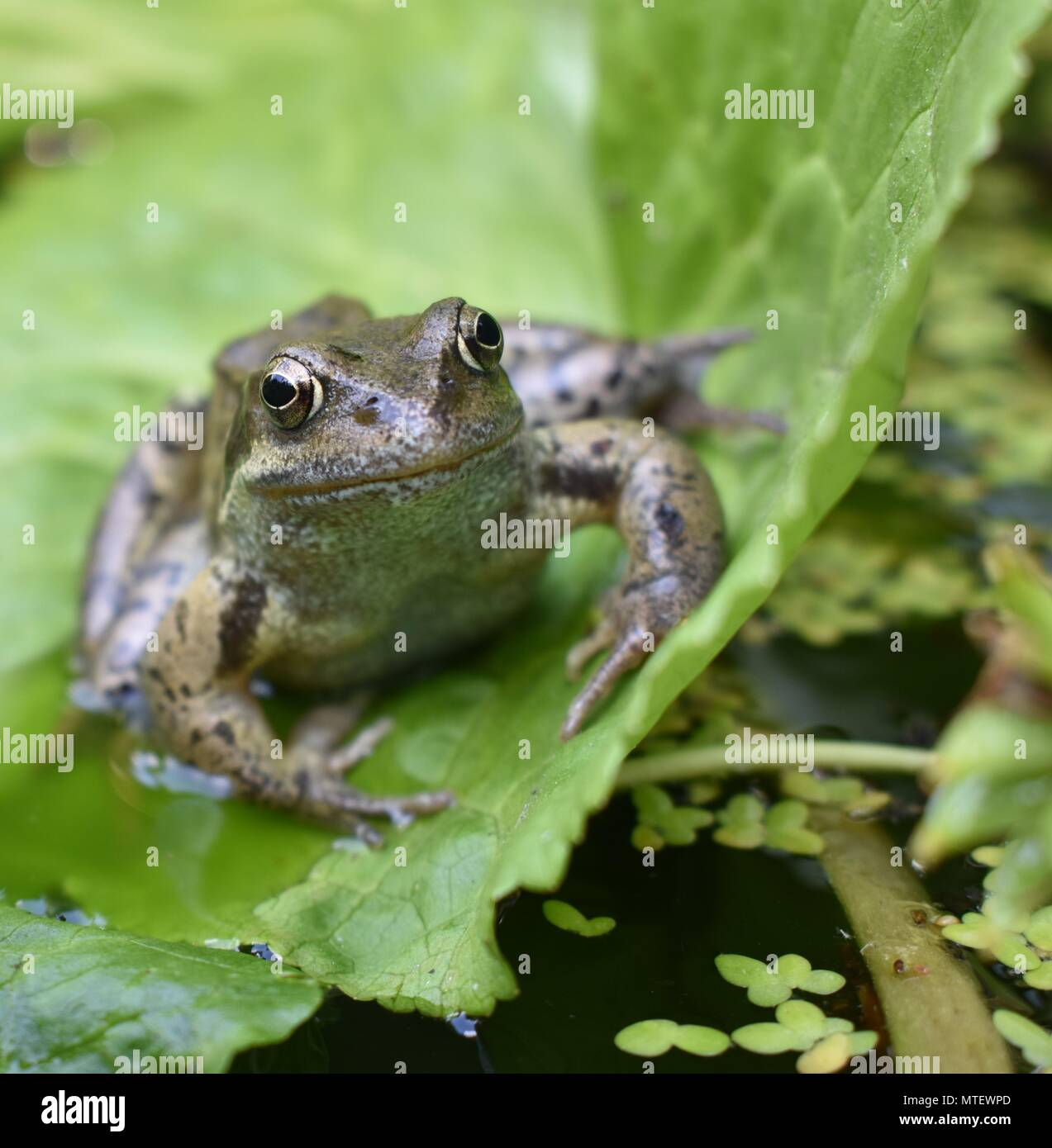 Frog in a local pond - Stock Image