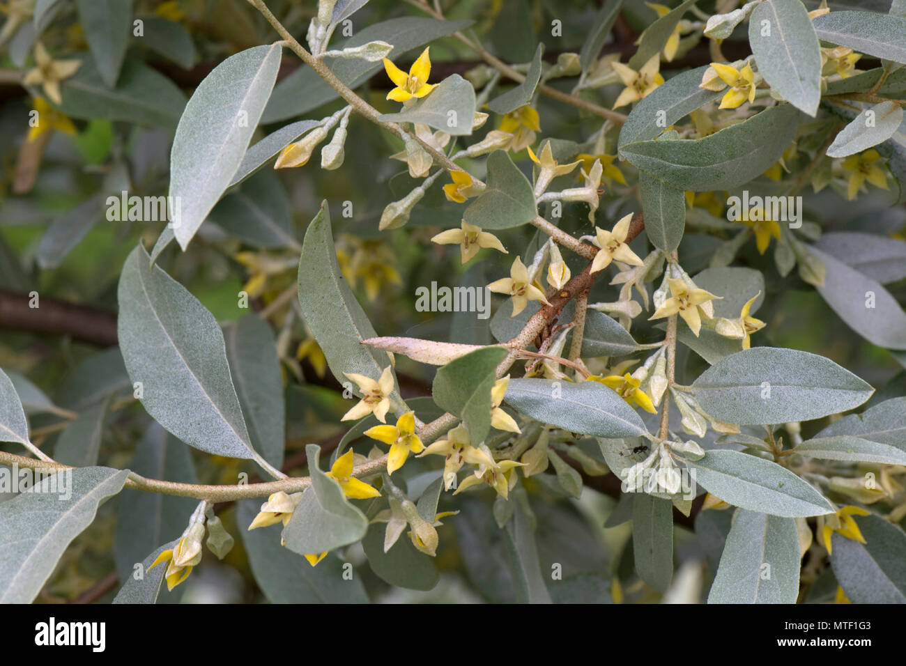 Elaeagnus Angustifolia Quicksilver With Grey Green Leaves And