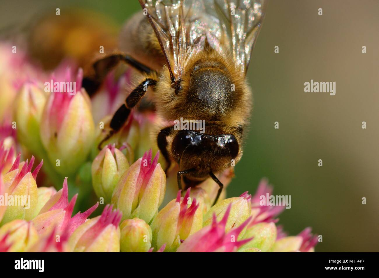 Macro shot of a honey bee pollinating a sedum flower - Stock Image