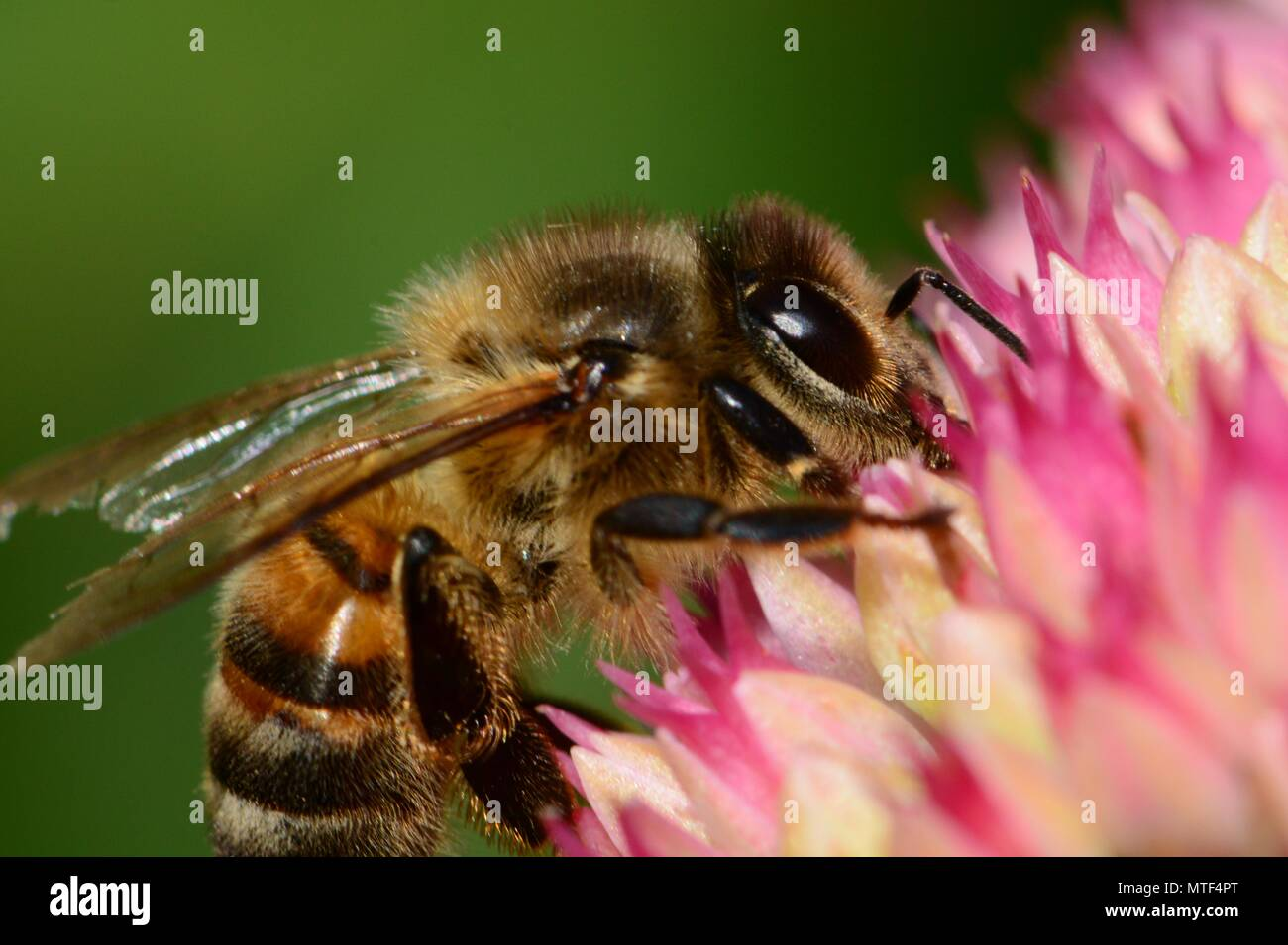 Macro shot of a honey bee pollinating a sedum flower - Stock Image