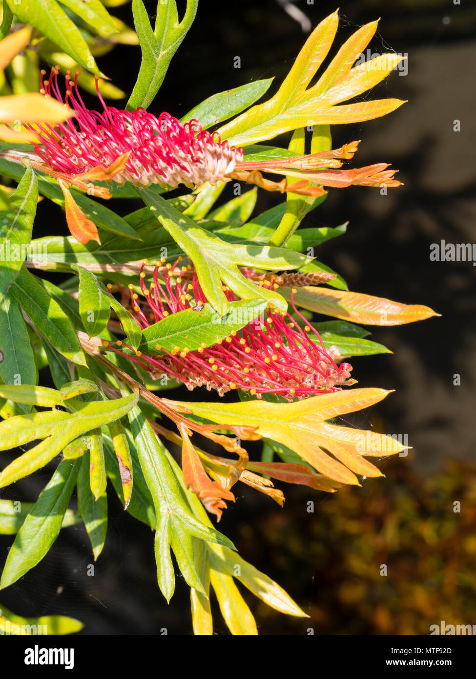 Unusual flowers of the Gully Grevillea, Grevillea barklyana, with prominent red styles, flowering in early summer in the UK - Stock Image