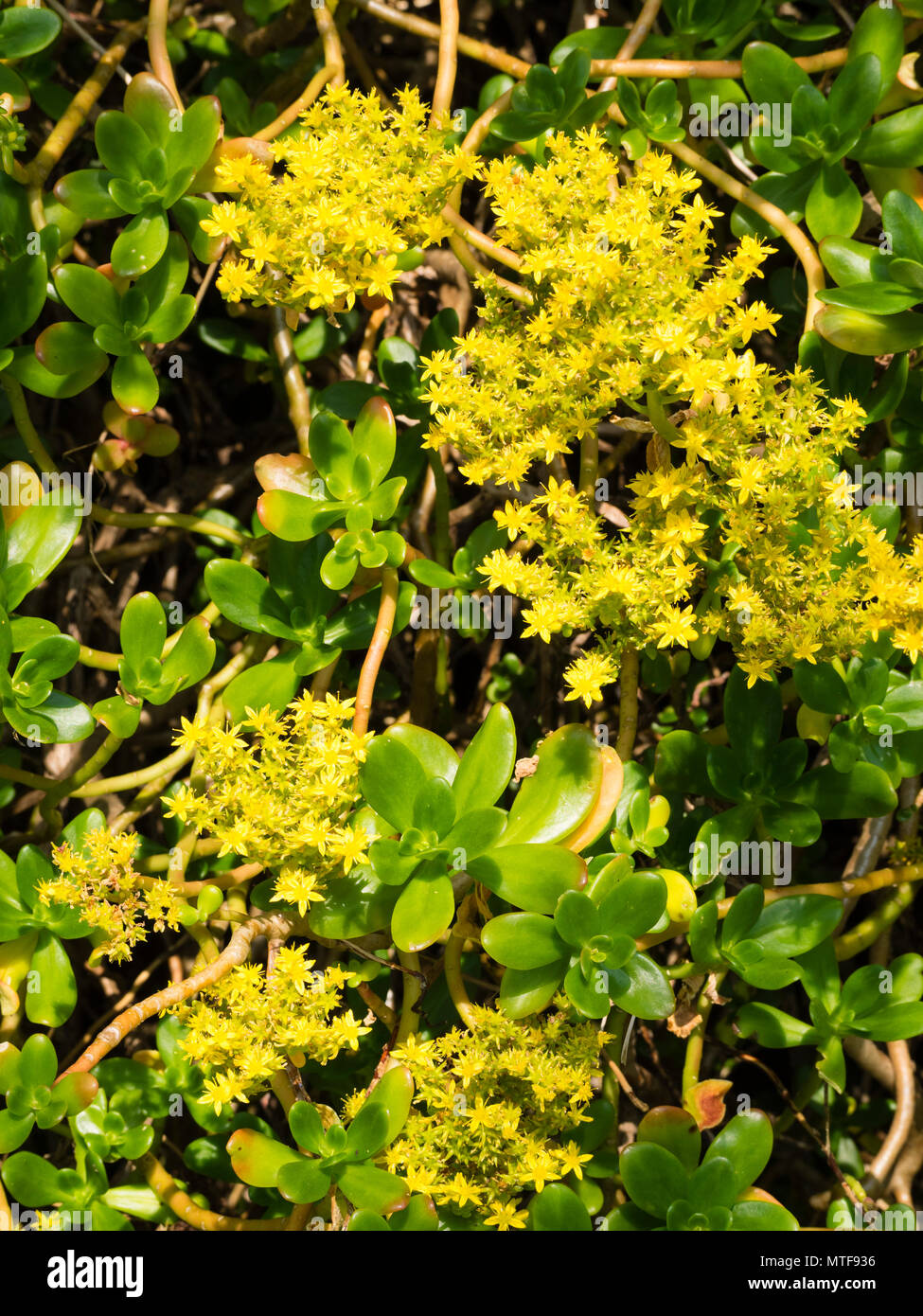 Yellow Early Summer Flowers Of The Greater Mexican Stonecrop Sedum