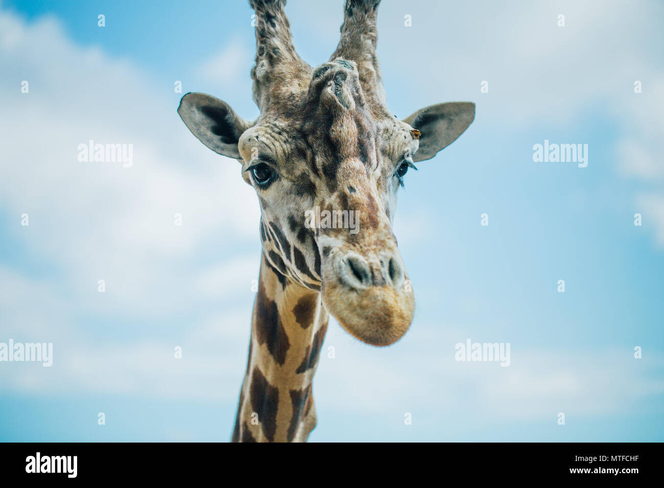 Giraffe in Fasano apulia safari zoo Italy Stock Photo