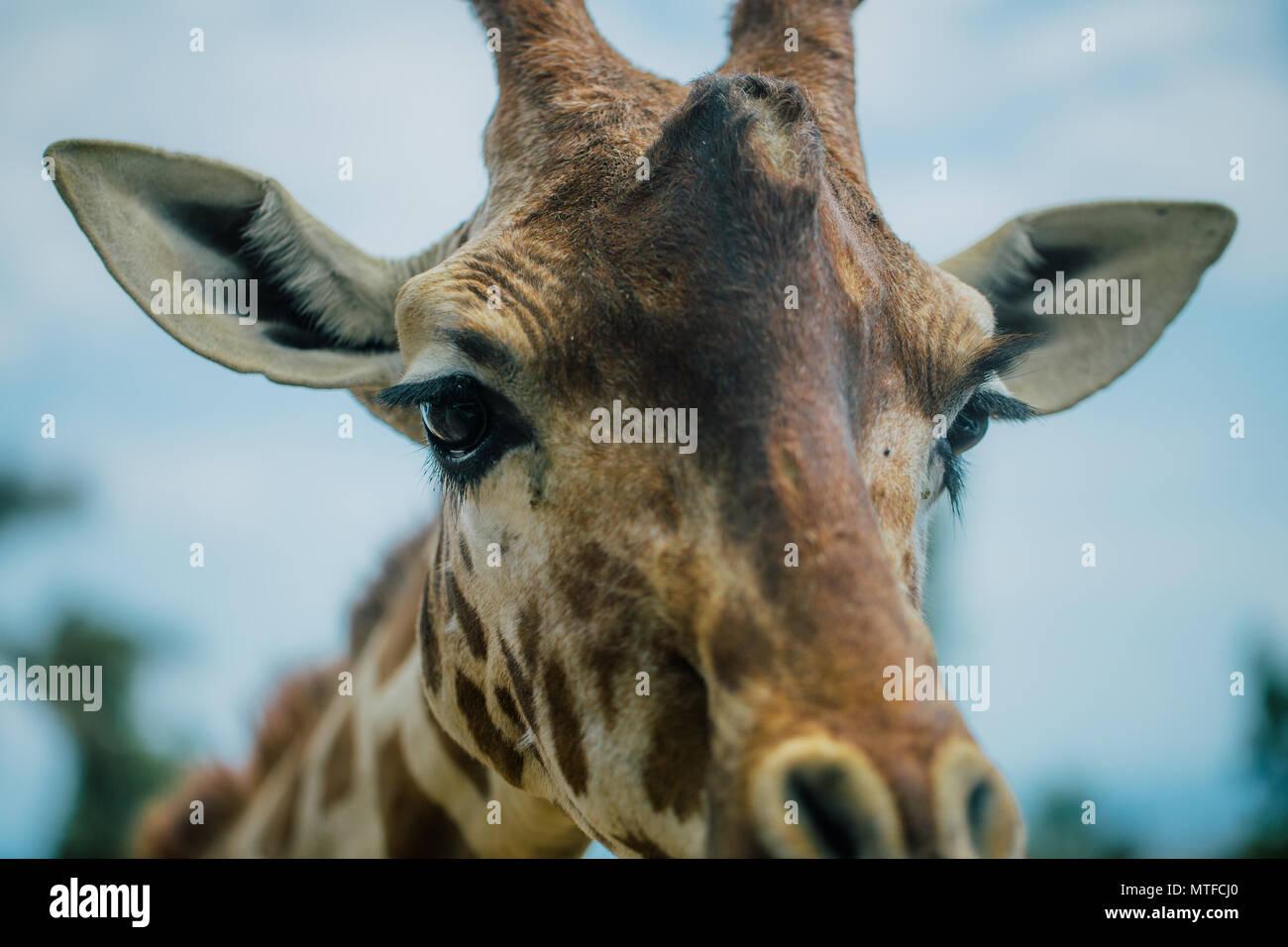 Giraffe in Fasano apulia safari zoo Italy - Stock Image