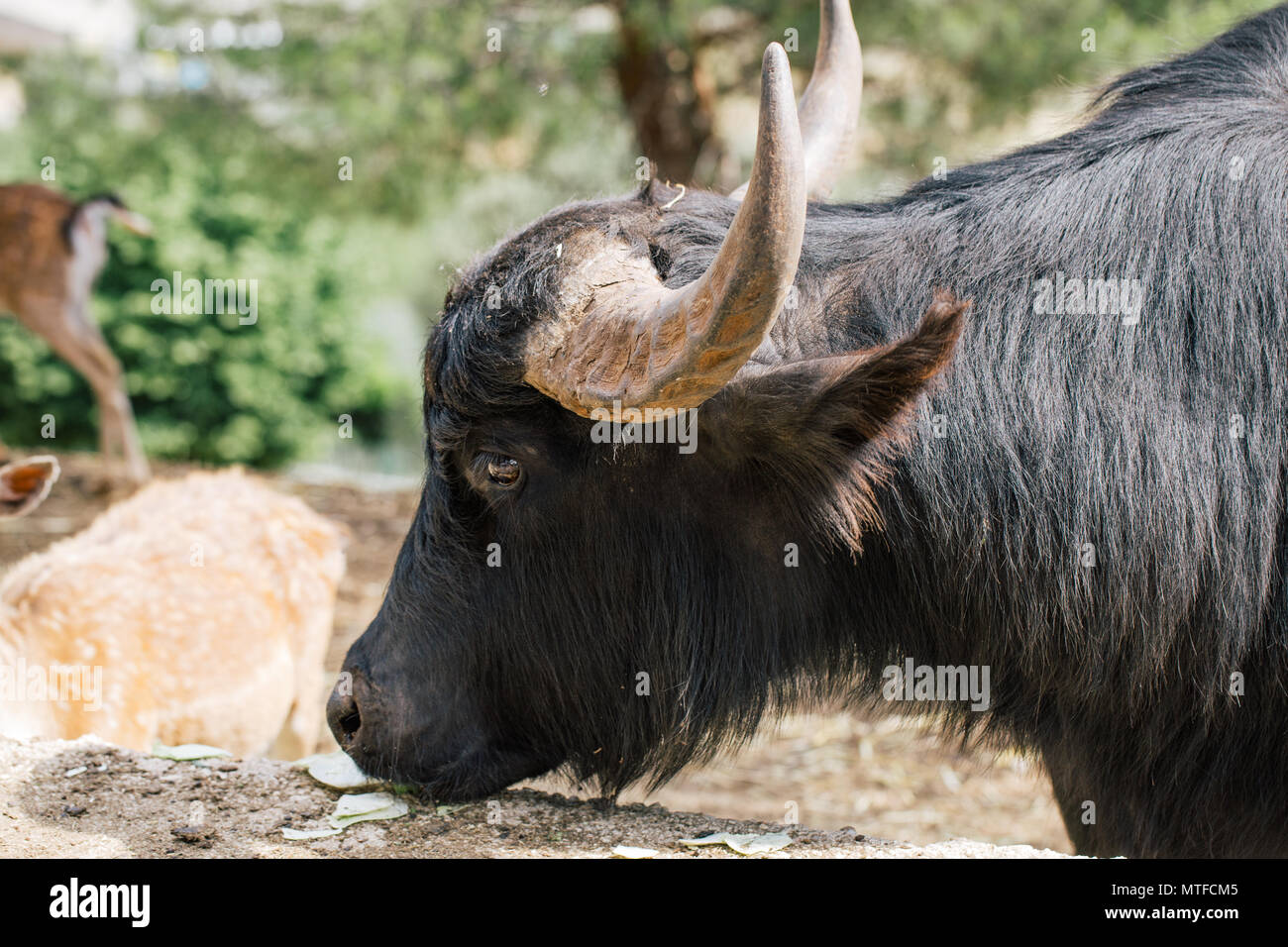 Black Buffalo in Fasano apulia Italy - Stock Image