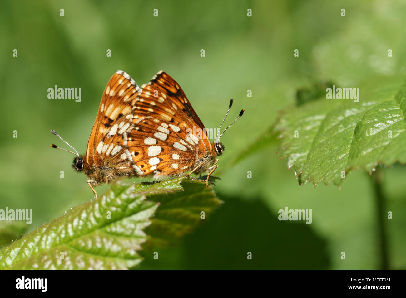 6fa3d7e8b417 A stunning pair of mating Duke of Burgundy Butterfly (Hamearis lucina)  perching on a leaf.