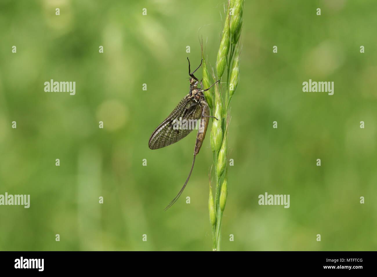 A beautiful Mayfly ( Ephemera vulgata) perching on grass seeds. - Stock Image