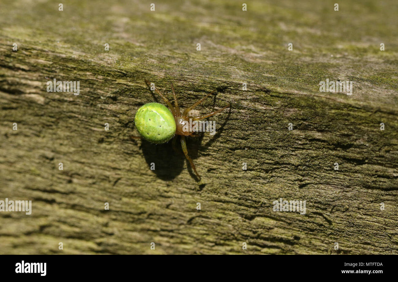 A pretty Cucumber Green Orb Spider ( Araniella cucurbitina sensu stricto) hunting for food on a wooden fence. - Stock Image