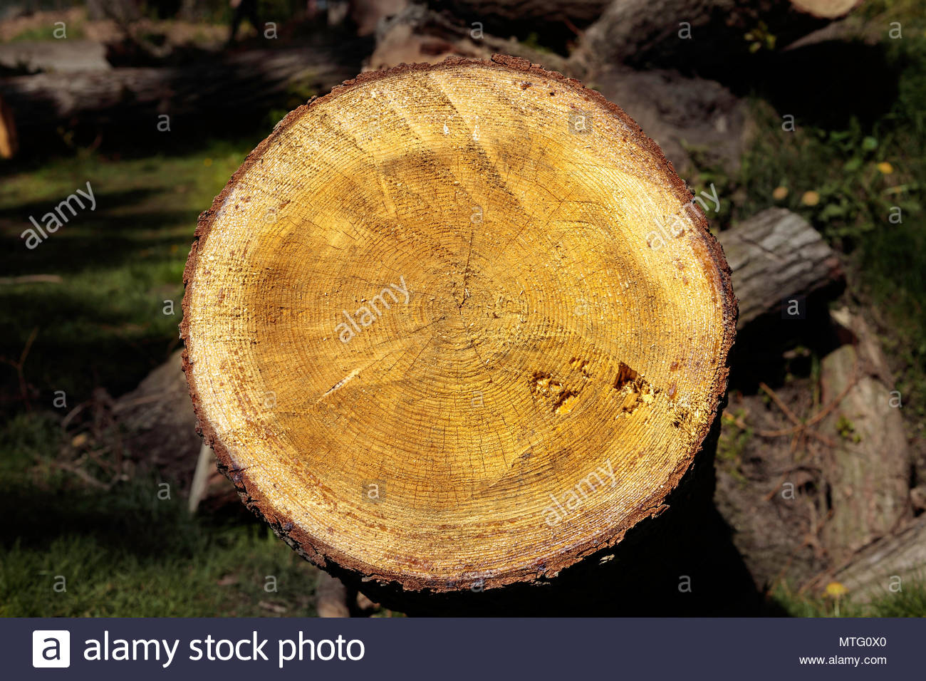 Tree Rings Cross Section Of Cut Log Showing Age