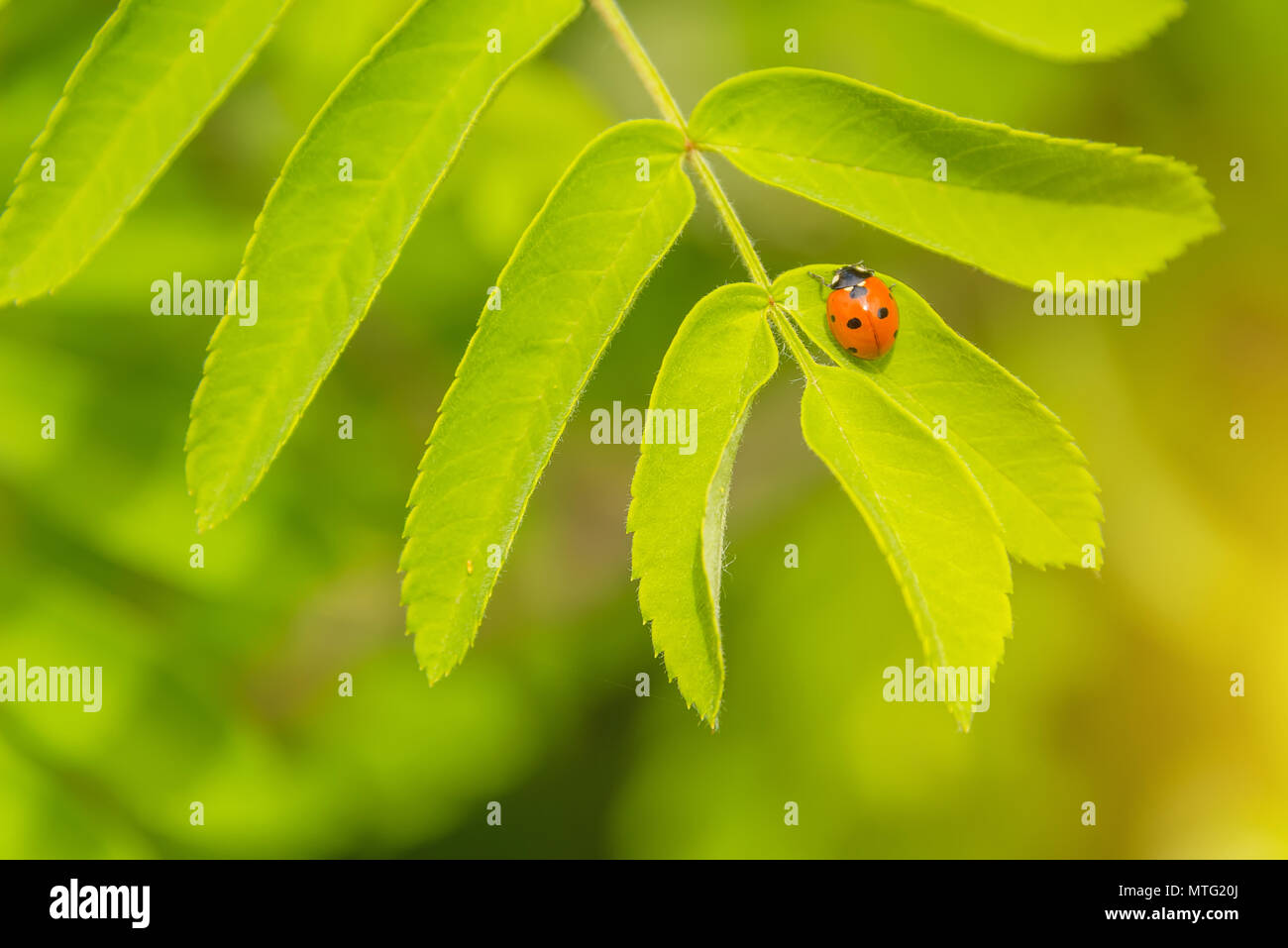 a small beetle crawling on a flower, a ladybug in the grass Stock Photo