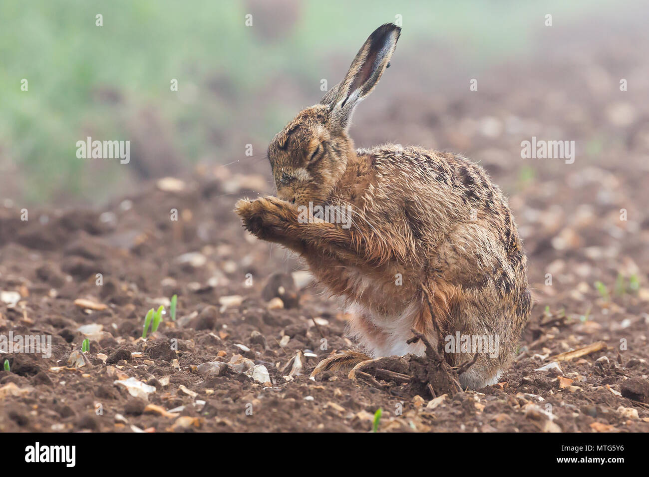 Wild brown hare with eyes closed, having a morning wash in a field with crops just starting to grow. Natures bare farmland soil with a furry animal cl - Stock Image
