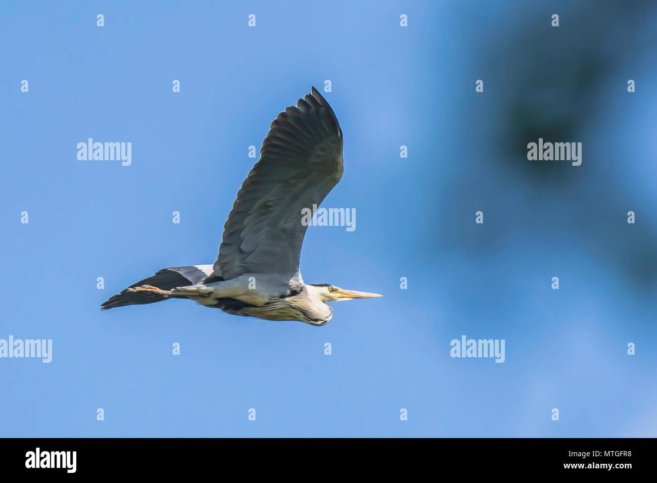 Ardea cinerea, Grey heron in flight.Stunning british wildlife.Nature Uk.Natural world conservation.Large bird flying above lake to find nesting place. - Stock Image